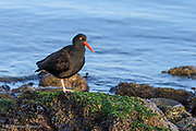 The Black Oystercatcher rests on one foot along Padilla Bay.
