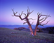Idaho, central east, Limber Pine on ridge in the Beaverhead Mountains of the Bitterroot Range at sunrise