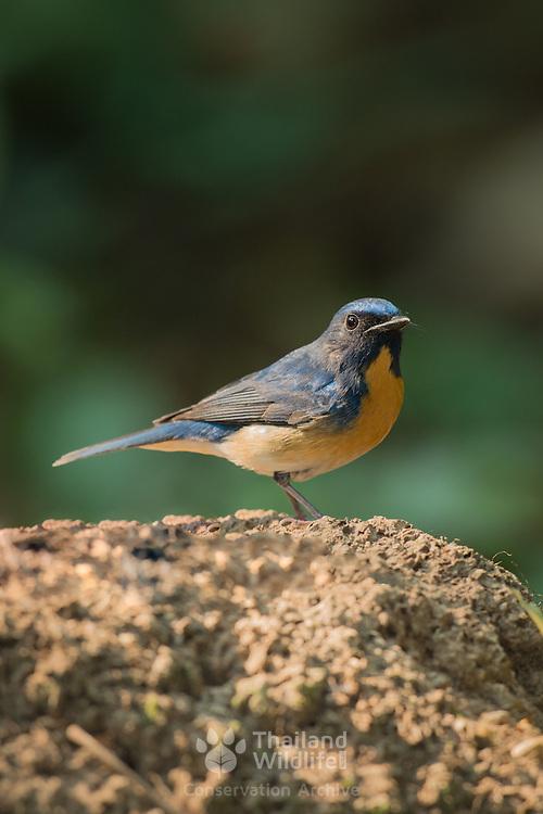 Hill blue flycatcher (Cyornis banyumas) in Kaeng Krachan Nationlal Park, Thailand.