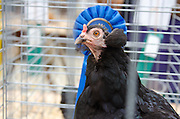 Prize-winning Araucana Clean Legged Hen with her blue ribbon at the Common Ground Fair, Unity, Maine.