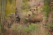 Mule deer, (Odocoileus hemionus), in the Tucson Mountains near Gates Pass in Tucson Mountain Park, Sonoran Desert, Tucson, Arizona, USA.