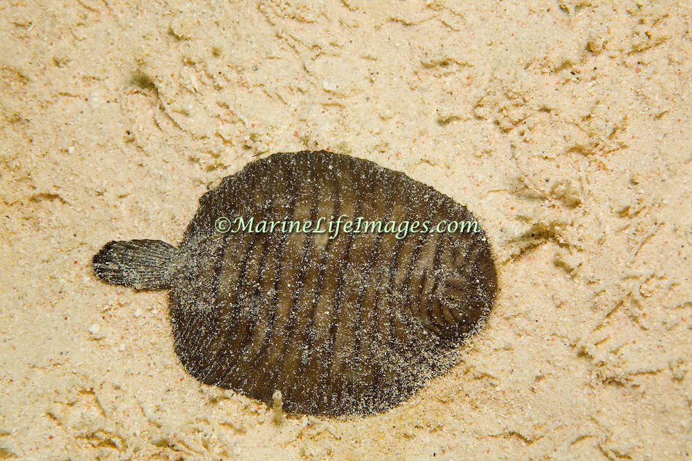 Flabby Sole inhabit areas of sand, silt, mud and rubble, often bury in substrate in Caribbean and southern Gulf of Mexico; picture taken Utila, Honduras.