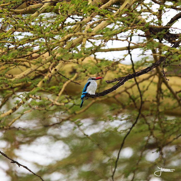 Woodland Kingfisher (Savannkungsfiskare), Halcyon senegalensis, in central Serengeti.