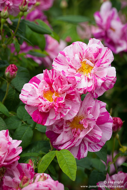 Rosa gallica 'Versicolor'  - Rosa Mundi, French Rose