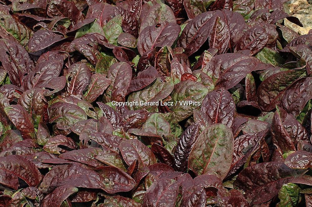 PURPLE OR RED SORREL rumex purpurea