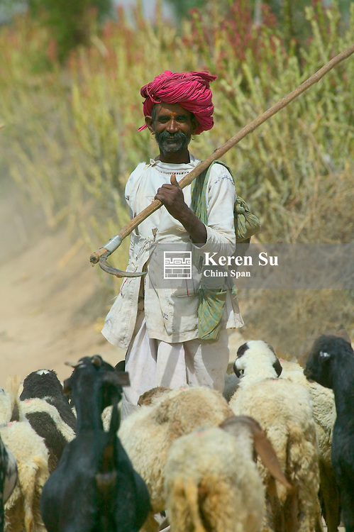 Man herding sheep, Rajasthan, India