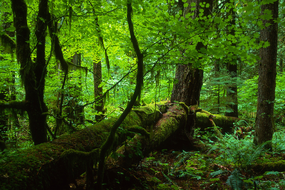 Old Growth Forest at Cedar Flats on East Side of Mt. St. Helens, Mt. St. Helens National Volcanic Monument, Washington, US