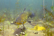 Black Bullhead (male guarding eggs-yellow mass in lower right hand corner)<br />