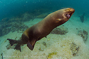 Galapagos Sea Lion, Zalophus wollebaeki, play in the shallows of the Galapagos Islands, Ecuador.