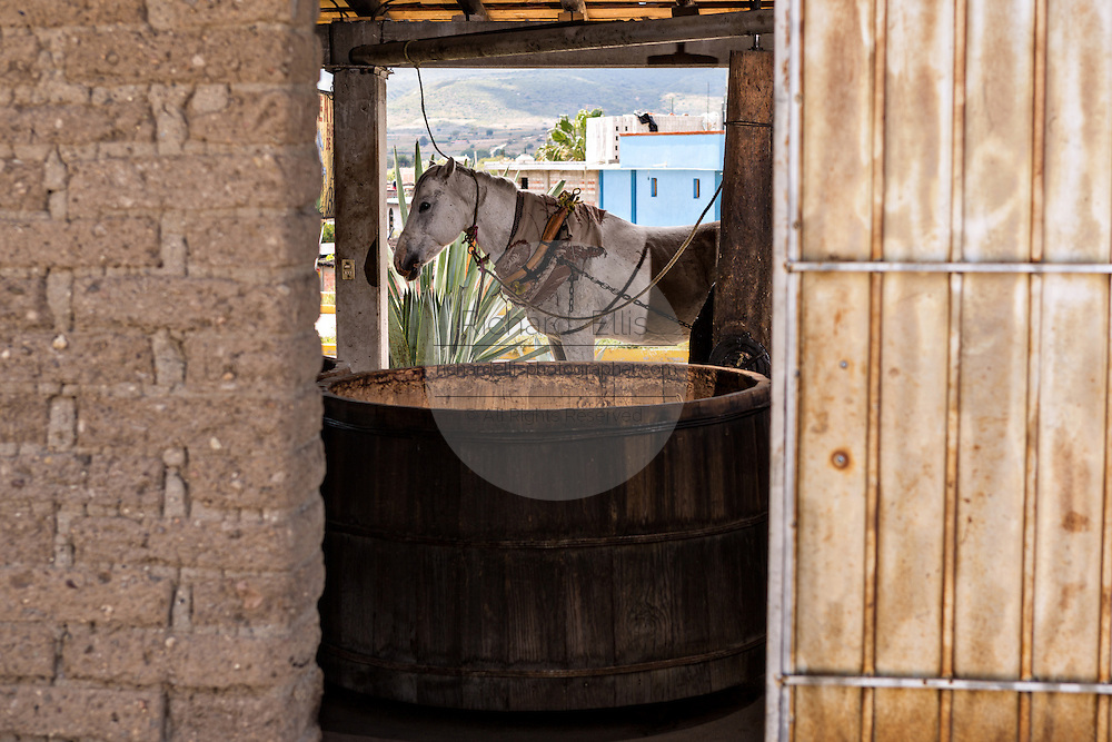 A horse used to pull the mill stone to grind agave at an artisanal Mezcal distillery November 5, 2014 in Matatlan, Mexico. Making Mezcal involves roasting the blue agave, crushing it and then fermenting the liquid.