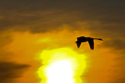Mute Swan flies past sunset, Oxfordshire, United Kingdom. Wild birds may be at risk if Avian Flu (bird flu virus) spreads.