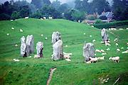 Sheep grazing around standing stones at Avebury stone circle, Wiltshire, England, UK