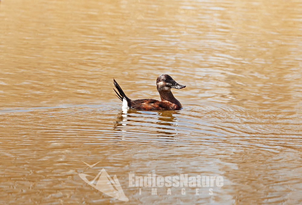 A female Ruddy Duck swims in the afternoon sun.