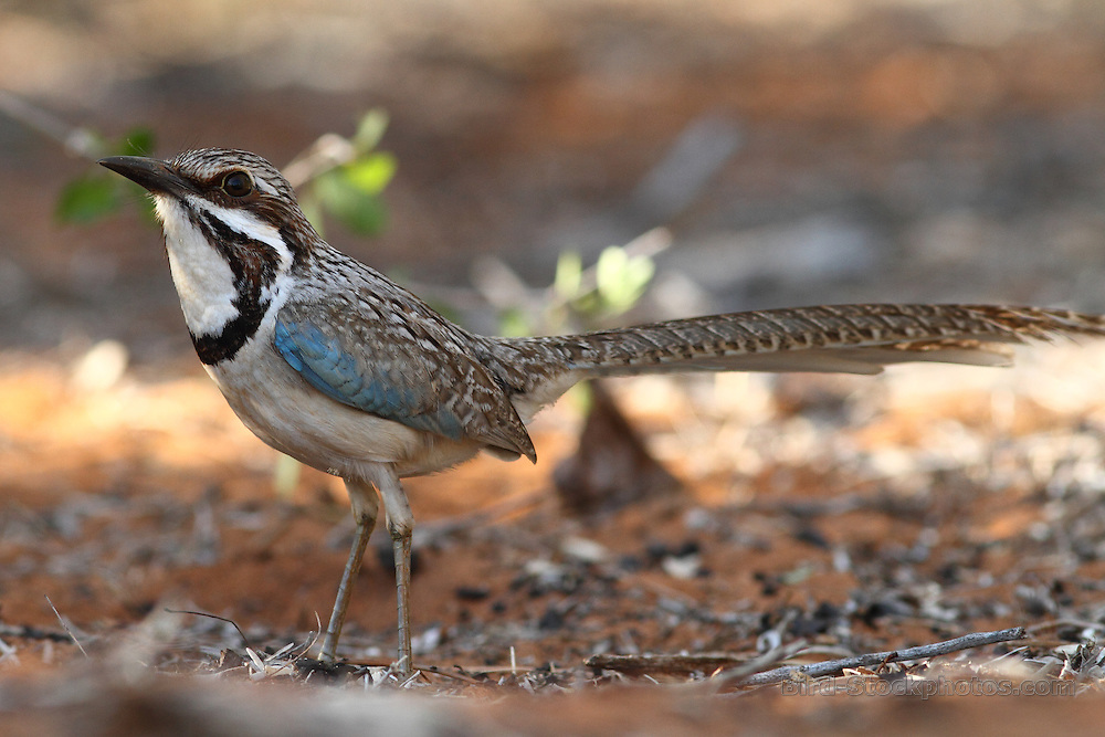 Long-tailed Ground Roller, Uratelornis chimaera, Madagascar, by Markus Lilje