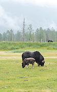 A musk ox and calf  graze on grass at the Alaska Wildlife Conservation Center near Girdwood, Alaska.