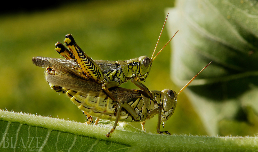 Two grasshoppers mate on a sunflower.