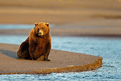 North American brown bear /  coastal grizzly bear (Ursus arctos horribilis) sow sits on a sand bar in the Silver Salmon Creek at sunrise, Lake Clark National Park, Alaska, United States of America