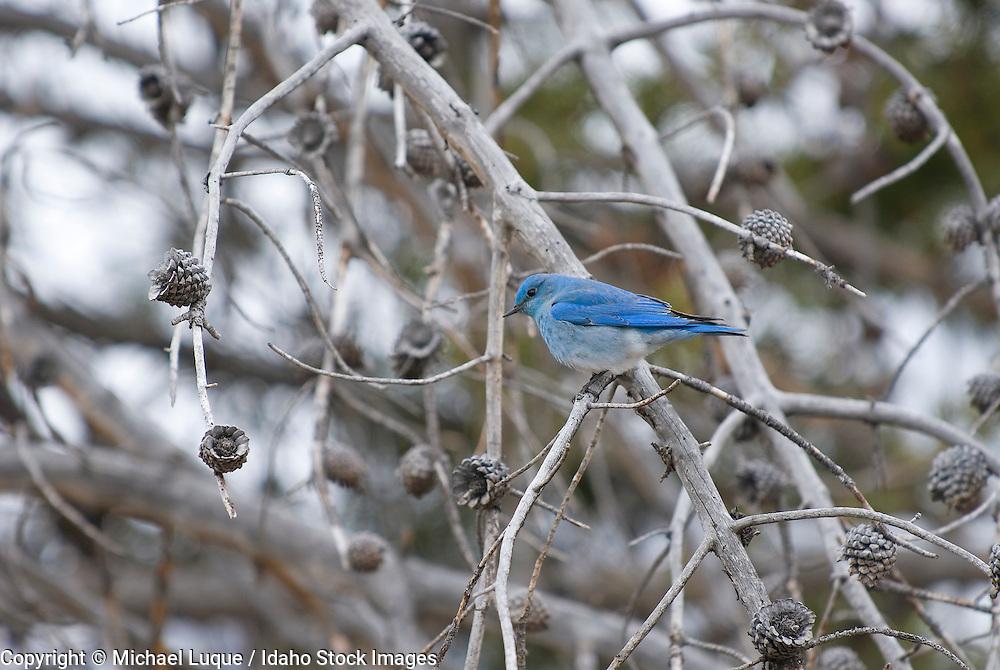 Mt. Bluebird; (Sialia currucoides); Yellowstone NP