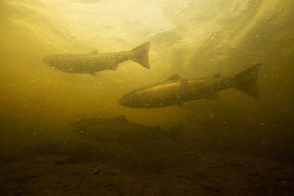 Atlantic salmon (Salmo salar)<br /> Spawning migration upstreams, Ume&auml;lven, Sweden<br /> Atlantischer Lachs (Salmo salar)<br /> Laichwanderung, Ume&auml;lven, Schweden<br /> Saumon atlantique (Salmo salar)<br /> Migration dans la rivi&egrave;re Ume&auml;lven, Su&egrave;de<br /> 19-07-2009