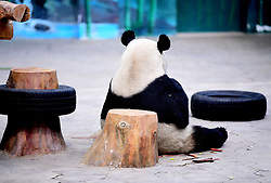 April 26, 2018 - Shenyan, Shenyan, China - Shenyang, CHINA-26th April 2018:The panda Pupu plays at Shenyang Forest Zoo in Shenyang, northeast China's Liaoning Province, April 27th, 2018. The panda Pupu is identified as female panda by mistake at the beginning. The zoo keeper made another check-up of the panda Pupu this April and found that it was a male panda. (Credit Image: © SIPA Asia via ZUMA Wire)
