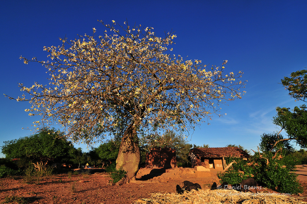 Toborochi tree, Yapiroa, Charagua, Santa Cruz, Bolivia