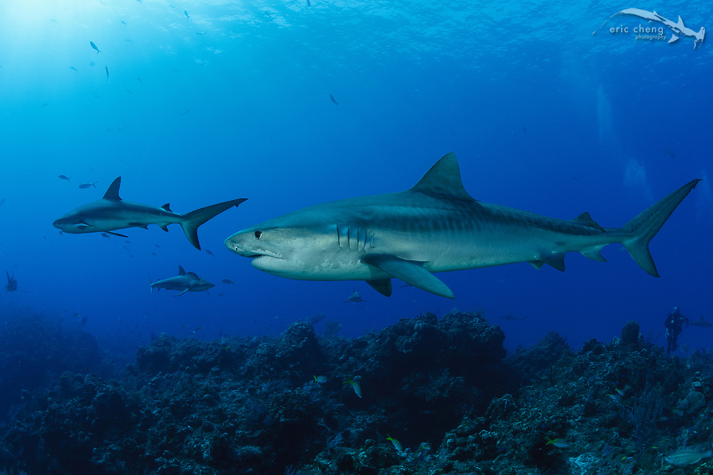 A tiger shark (Galeocerdo cuvier) and Caribbean reef sharks (Carcharhinus perezi) in the Bahamas