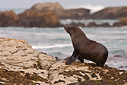 A New Zealand Fur Seal walks along the coast of Stewart Island.