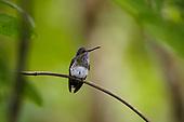 Jewels of the Rainforest - Hummingbirds