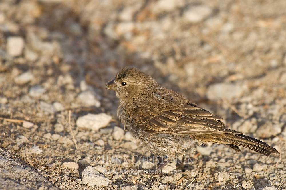 Young female house finch, eating seeds from the ground