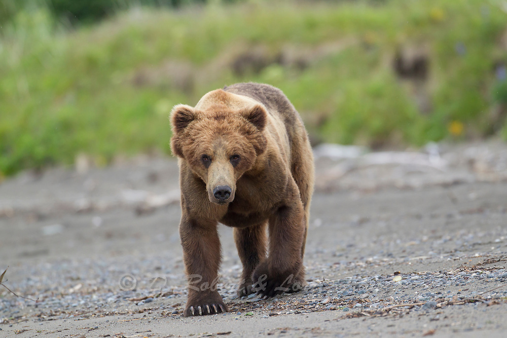 Alaskan brown bear boar during early summer