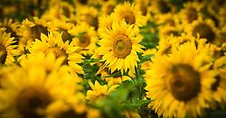 Sunflowers growing on the C&ocirc;tes de Duras, Lot et Garonne, France<br /> <br /> (c) Andrew Wilson | Edinburgh Elite media