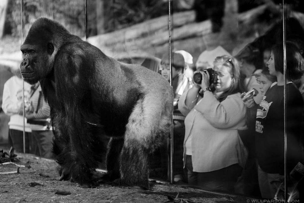 A male gorilla draws a crowd at the San Diego Zoo