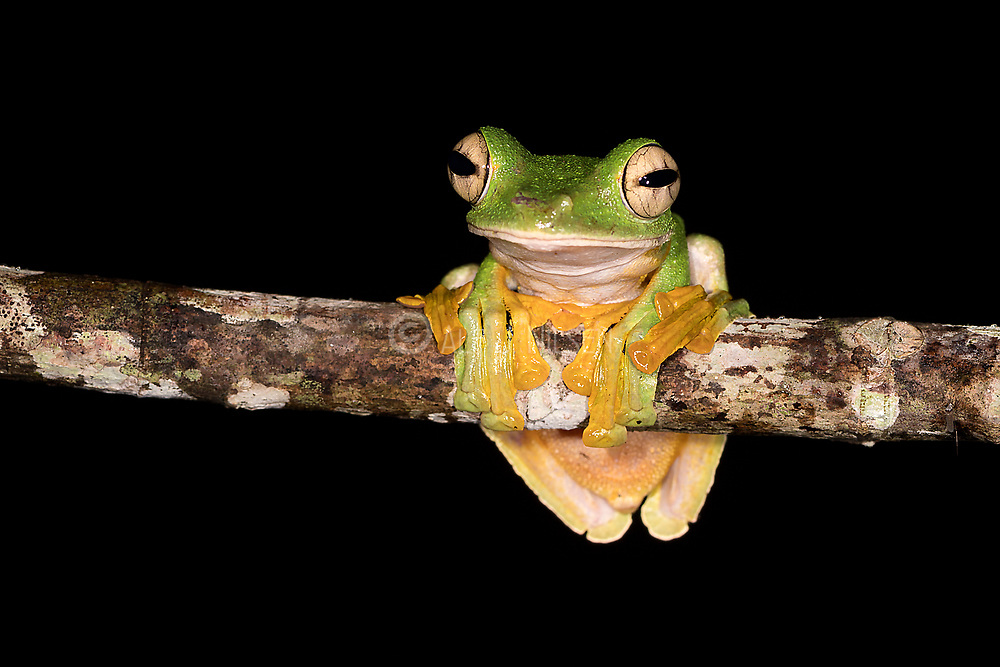 Wallace's Flying Frog ( Rhacophorus nigropalmatus) from Deramakot Forest Reserve, Borneo.