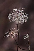 QUEEN ANN'S LACE PAST,STILL BEAUTIFUL IN DEATH