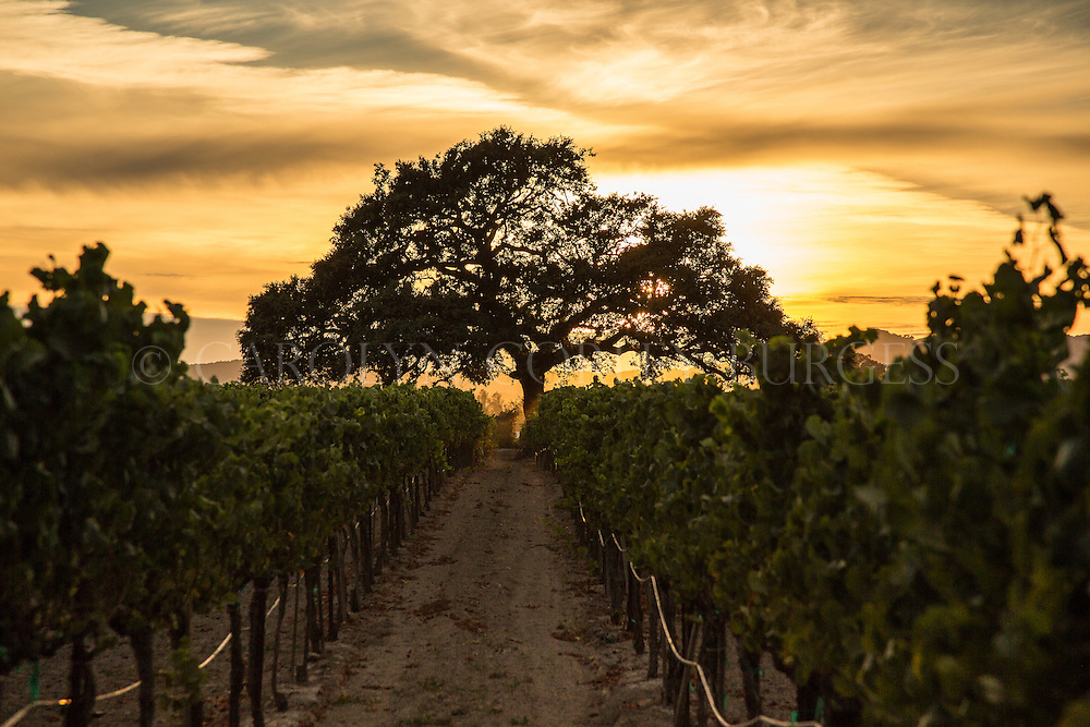 Sunset in a Sonoma vineyard