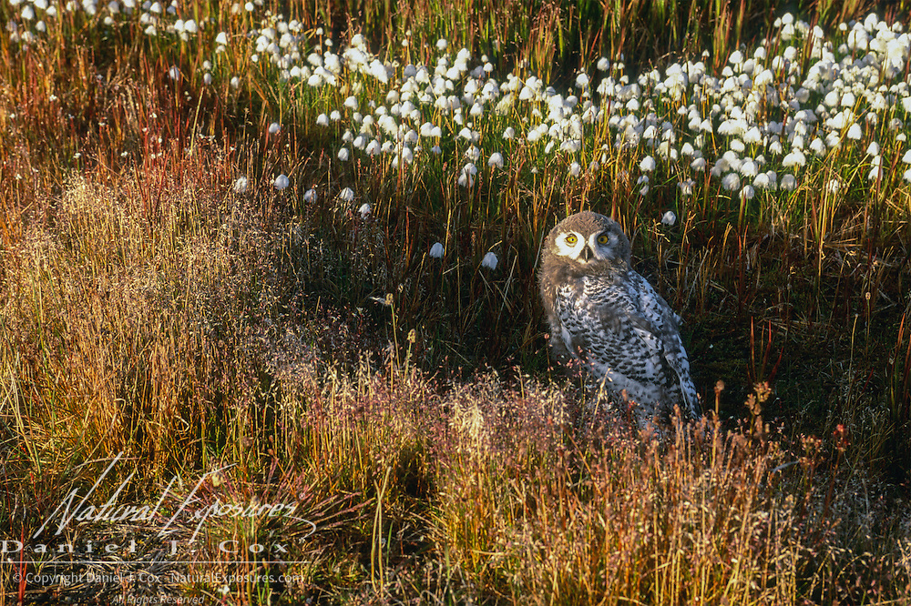 Snowy Owl (Bubo scandiacus) fledged chick in cotton grass. Barrow, Alaska