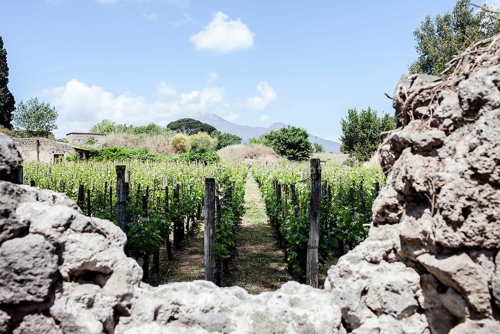 """20 May 2017, Pompei, Naples Italy - The vineyard inside the ancietn city of Pompeii. The project is based on the cooperation started in the early '90s between the Soprintendenza Archeologica of Pompeii and Mastroberardino. The aim of the project is to investigate methods and techniques of viticulture and winemaking in ancient Pompeii, as well as to reproduce important phases of the ancient process on experimental basis. """"Villa dei Misteri"""", the wine made from the vineyards inside the ruins of Pompeii."""