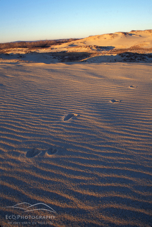 Whitetailed Deer tracks on the dunes at Parker N.W.R. Beaches. Plum Island, MA