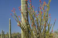 Ocotillo (Fouquieria splendens) and Saguaro Cactus (Carnegiea gigantea), Organ Pipe Cactus National Monument ArizonaOrgan Pipe Cactus National Monument Arizona
