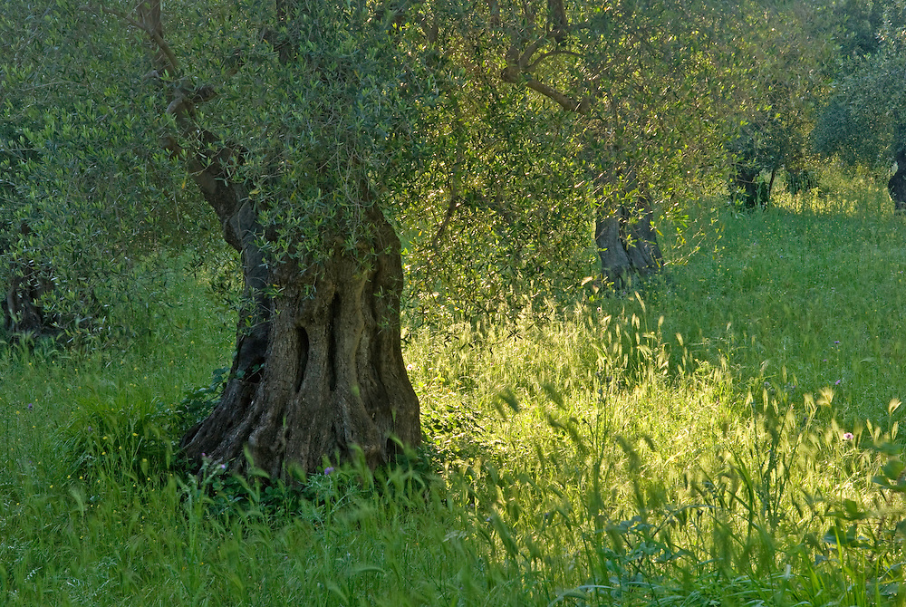 Apulia; cultivated landscape; Gargano National Park; Gargano Peninsula; Italy; Olea europaea; olive orchard; Olive tree; Vieste