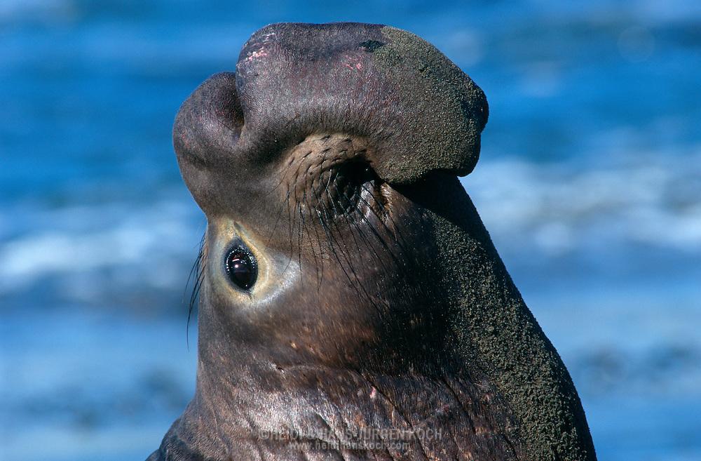 USA, Vereinigte Staaten Von Amerika: Nördlicher See-Elefant (Mirounga angustirostris), imponierender See-Elenfantenbulle präsentiert seine Nase und beobachtet dabei seinen Rivalen, Imponierverhalten, je älter das Tier desto größer die Nase, eine große Nase ist ein Zeichen für physische Dominanz, Strand direkt neben California State Route 1, San Simeon, Kalifornien   USA, United States Of America: Northern Elephant Seal (Mirounga angustirostris), impressing bull elephant seal presenting his nose while watching its rival, impressing behaviour, as older the animal so bigger the nose, it?s a sign for physical dominance, beach directly next to Cabrillo Highway 1, San Simeon, California  