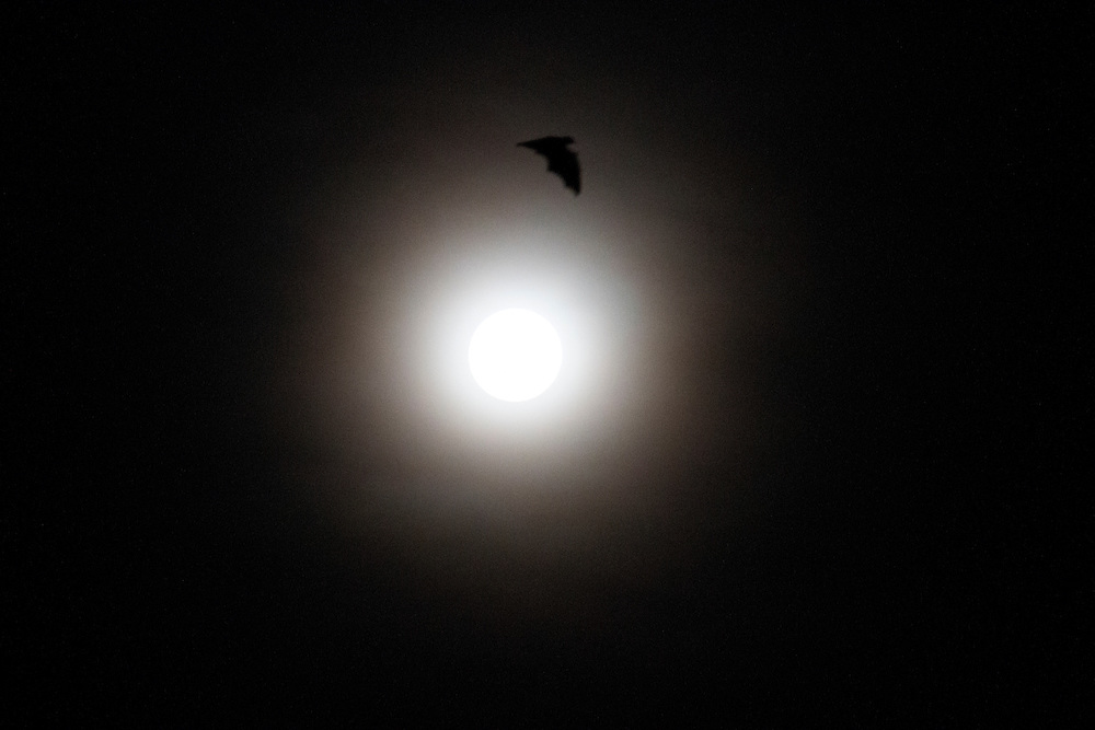As darkness falls, the flying fox passes over the full moon, Pine Creek, Northern Territory, Australia.