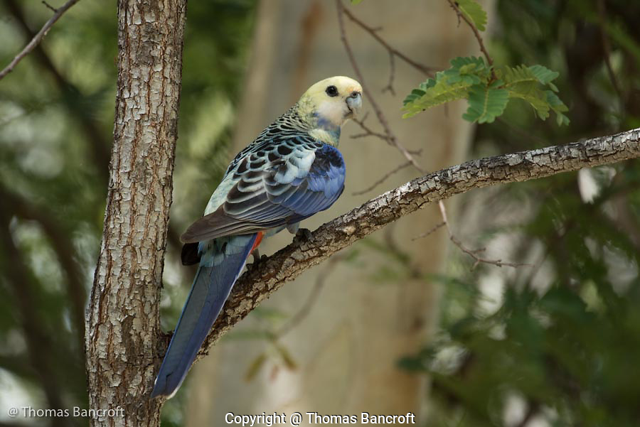 A pale-headed rosella flies to a branch after feeding on grass seeds along the trail. The scalloping on its back was striking in contrast to the pale-yellow head feathers.