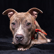 As you might imagine, there were a lot of pit mixes in the program.  Shelters that are affiliated with an animal control program have a lot of pit bulls.
