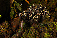 Eastern Long-beaked Echidna (Zaglossus bartoni).  Rare species from the mountains of New Guinea.<br /><br />Endangered Species (IUCN Red List: CR)