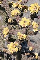 Tree Cholla fruit, (Cylindropuntia imbricata var. arborescens), Van Horn, Texas