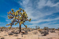 The Joshua tree is the king of the Mojave desert. Reaching upward to 30'-40' tall, it is also losing habitat quickly. Luckily a few healthy and dense pockets still exist in Southern California such as these in the Joshua Tree National Park.