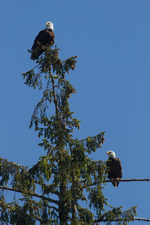 Two Bald Eagles (Haliaeetus leucocephalus) perched in a tree near Uclelet, BC.