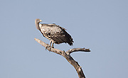 African Whited-backed Vulture