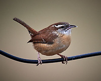Carolina Wren. Image taken with a Nikon D5 camera and 600 mm f/4 VR lens (ISO 500, 600 mm, f/4, 1/640 sec).